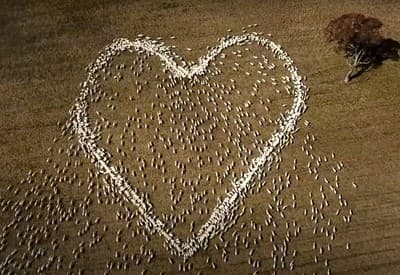 Ovce vytvorili tvar srdca