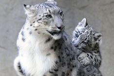 Leopard snežný