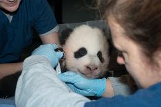 Mláďa pandy