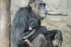 Šimpanzy vo Varšave