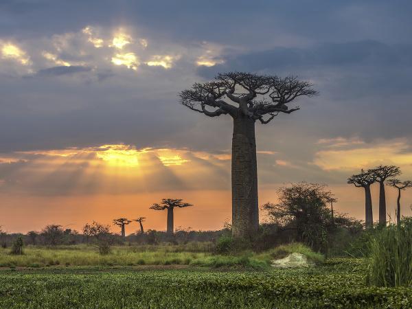 Baobaby týčiace sa k východu slnka