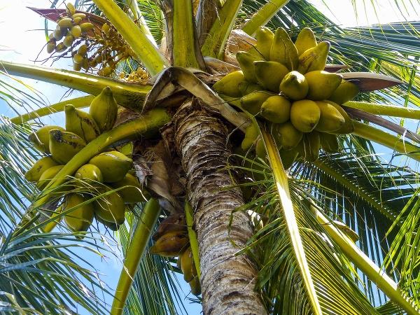 Kokosovník