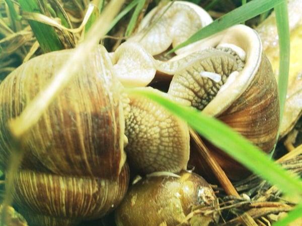 Pestovanie slimákov a slimačích