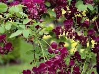 Kvety menej známej akébie