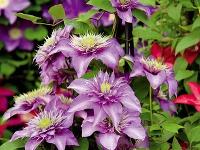 Plnokveté odrody Knajobľúbenejším záhradným rastlinám