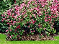 Očista pre rododendrony. Aby