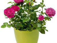 Ruže v nádobe. Počas