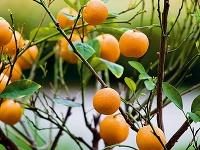 Presadenie citrusov. Signálom na