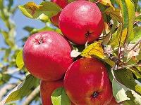 Ovocie vbiokvalite sa dá