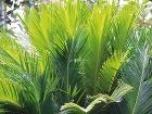 Cykasy (Cycas revoluta) sú