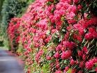 Rododendrony ponúkajú 2 v