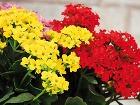 Kalanchoe so sýtofarebnými kvetmi