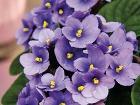 Africké fialky (Saintpaulia ionatha)