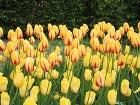 Svieže tulipány. Ak máte
