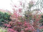 Karmínová farba listov je