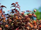 Väčšina krov najkrajšie kvitne