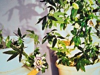 Popínavé rastliny v interiéri