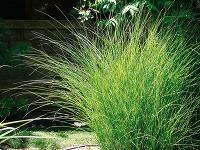 Ako v záhrade pestovať okrasné trávy