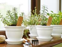 Ako si vypestovať bylinky proti chrípke aj na okennom parapete