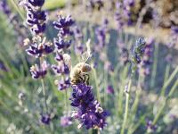 Aromaterapia: trvalková zmes vpestrých