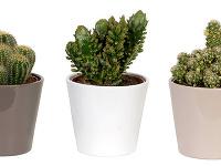 Kaktusy v kvetináči, živé
