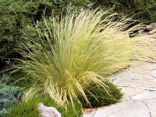 Hra vetra so súkvetiami okrasných tráv je niekedy fascinujúca. Preto je vhodné niektoré druhy vysadiť k chodníkom vedúcim do domu.