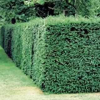 Tvar živého plota sa udržuje priebežným rezom.