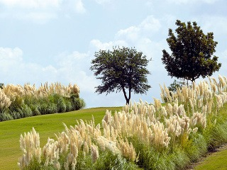 Rastlina mesiaca:  Pompézne kortadérie Patria