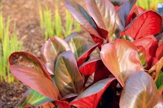 Tip do záhrady:  Červenolisté