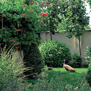 Pávice zvyknú svoje mladé sprevádzať pri potulkách záhradou. Aaby priestor nepôsobil príliš jednotvárne, červenou farbou ho oživujú kvety trúbkovca koreňujúceho (Campsis radicans).