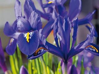Kosatčeky (Iris reticulata) sú