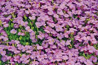 Nedávno som videla prekrásne rozkvitnutý kvetinový múrik, vktorom dominovala bohato kvitnúca kobercová skalnička sfialovými kvetmi. Skalku nemám, no zvažujem vytvorenie štrkového záhona vpredzáhradke.
