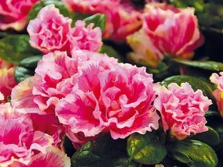 Senpólie (Saintpaulia ionantha) alebo aj africké fialky sú obľúbené kvitnúce izbovky pôvodom zAfriky. Pri dobrej starostlivosti sú dlhoveké abohato kvitnú. Ich kvety môžu byť fialové, biele, ružové imodré, vponuke sú aj kultivary, ktorých kvety sú via