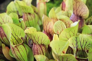 Obľuba pestovania mäsožravých rastlín