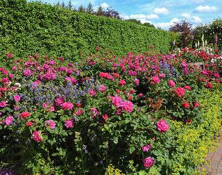 Záhony plné zdravých ruží
