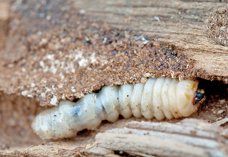 Impregnácia dreva proti škodcom?
