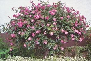 Ruže patria medzi najobľúbenejšie kultúrne dreviny pre svoje kvety, tvar kríka a vôňu.