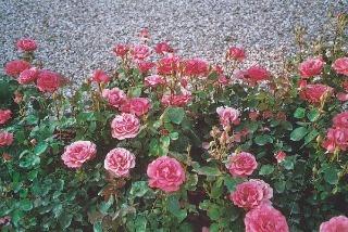 Záhonové ruže sú zaujímavé bohatstvom veľkých kvetov a schopnosťou vytvoriť plochu.