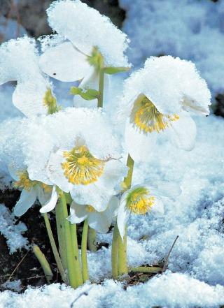 """Ako prvý rozkvitá koncom novembra kultivar """"Praecox""""."""