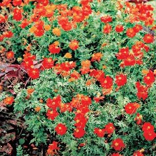 Aby vynikol pôvab krasuliek, nemusíte ich kombinovať s inými kvetmi, postačí im zelená kulisa trávnika.