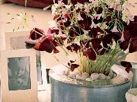 Purpurové listy kysličky sa