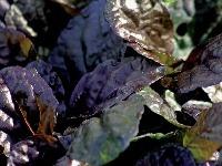 Zbehovec plazivý (Ajuga reptans