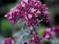 Oregano (Origanum pulcellum 'Rosenkuppel')
