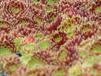 Skalnica (Sempervivum) je typická