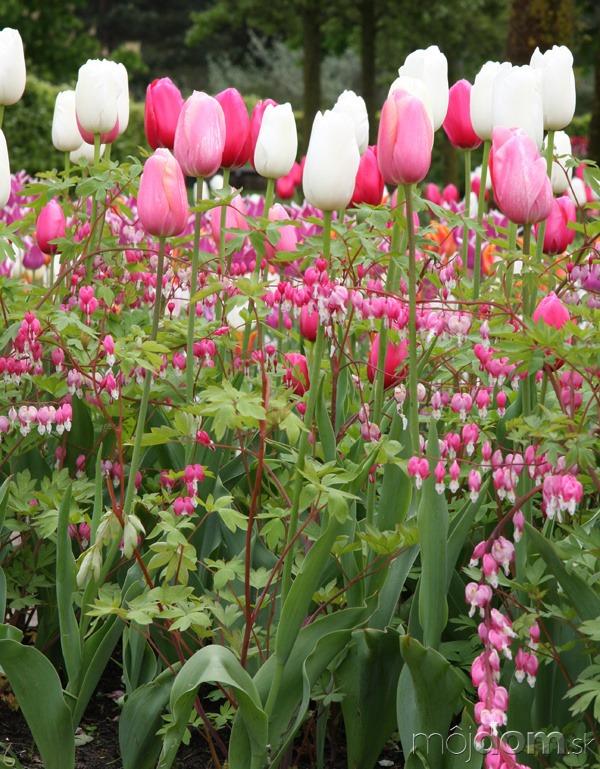 Tulipány. Pestrofarebný záhon so