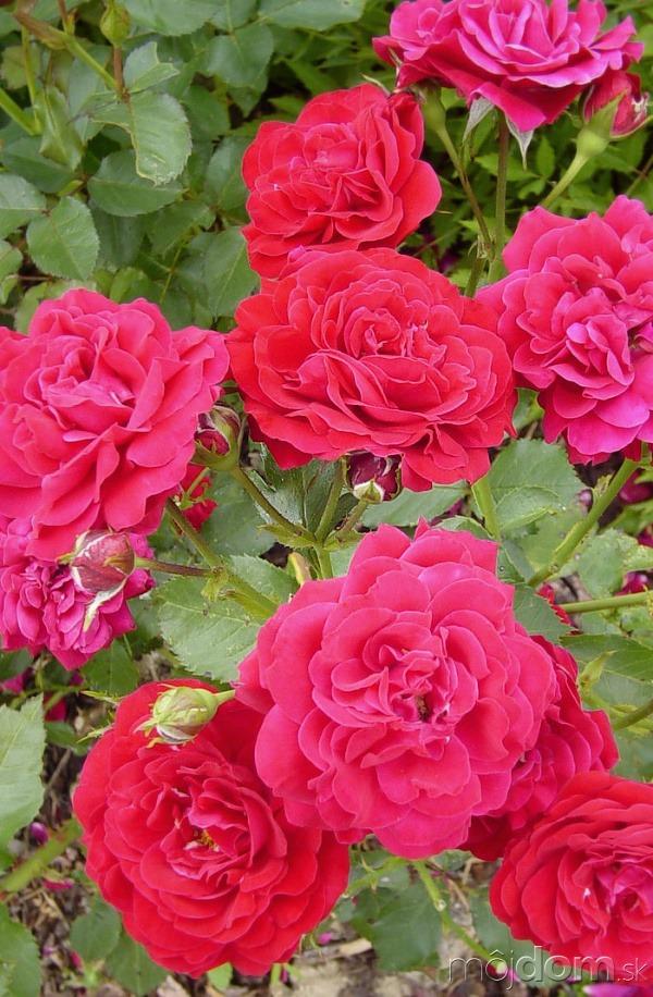 Všetko o ružiach a
