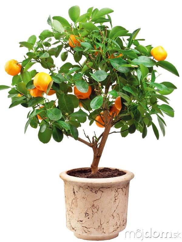Citrusy potrebujú chlad