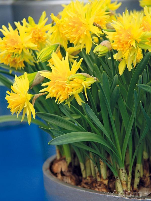 Žlto kvitnúce narcisy, napríklad