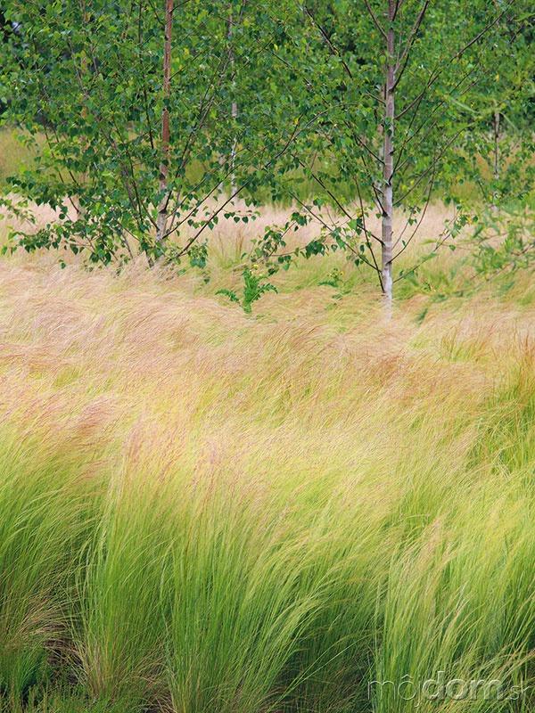 Kavyľ (Stipa tenuissima) vynikne