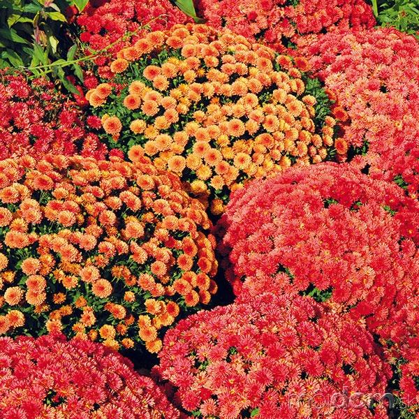 Chryzantémy prestavujú najdlhšie pestované